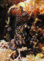 Nudi at Los pozos dive site Isabela Puerto Rico. Shot wit... by Carlos Pérez